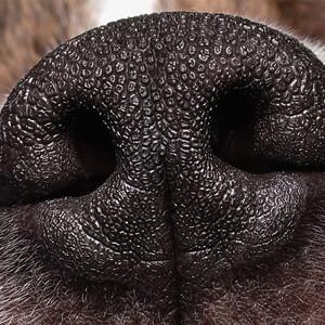 Dog's sense of smell