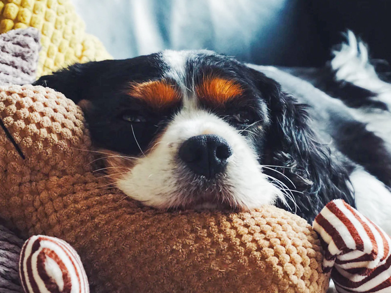 CBD Oil for Dogs | Pet Sitter + Dog Walker in Summerville