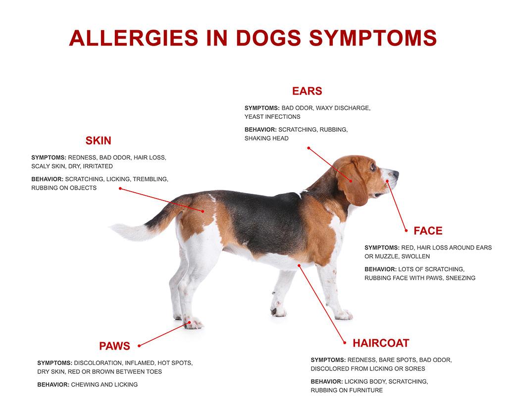 seasonal allergies in dogs
